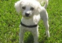 VIP Ellie female toy poodle