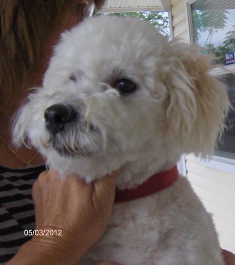 Maltese Bichon Mix Rescue - Goldenacresdogs com