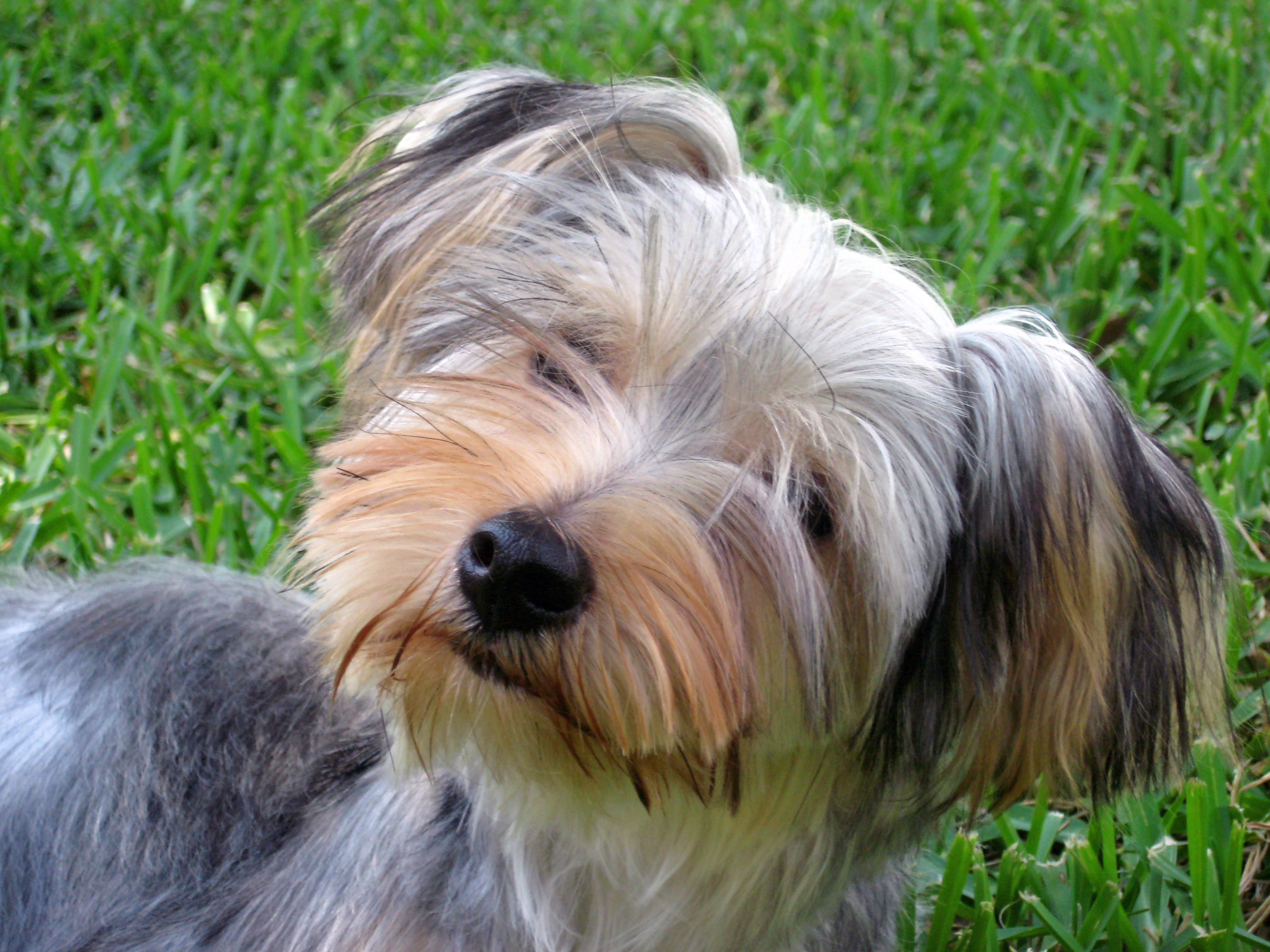 Yorkie Haircuts For Floppy Ears | hairstylegalleries.com