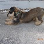 Oscar the Schnauzer 32013 027