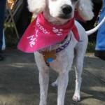 VIP Avery mini poodle