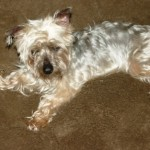 VIP Isabell Yorkie
