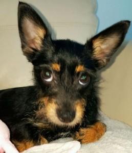 vip bobbie ears
