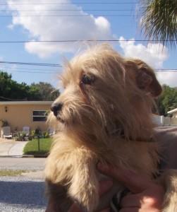 vip cooper terrier 2