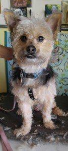 vip barkley groomed 2