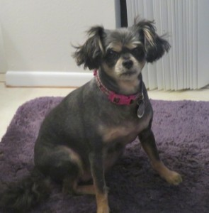 vip lucy yorkie 11 3 a