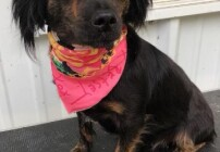 2 year old doxie mix
